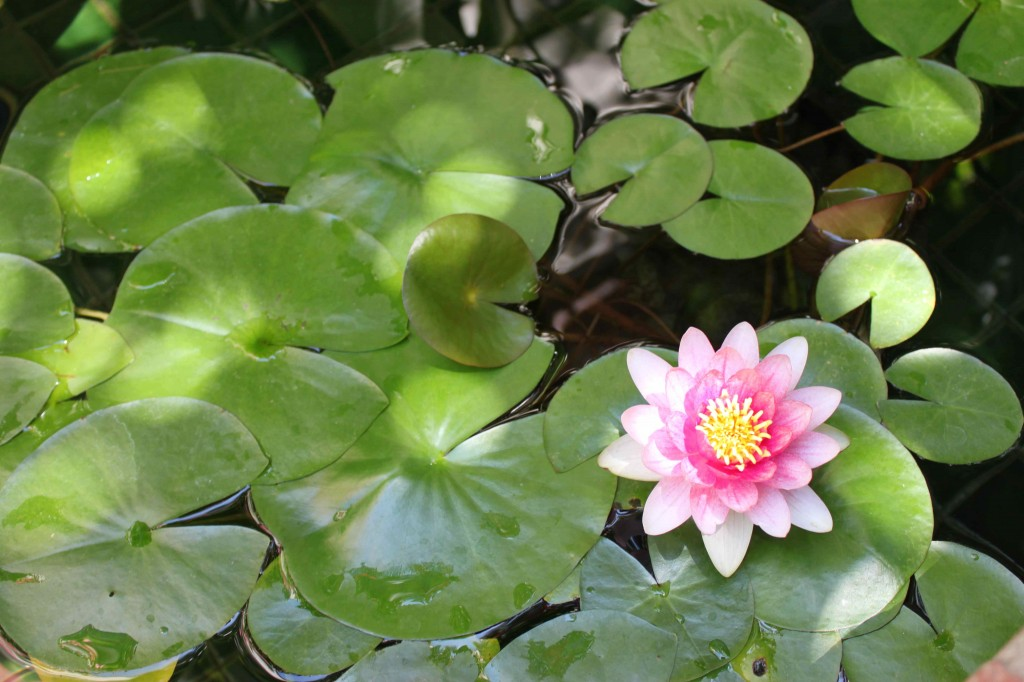 Pink-Lotus-Flower-Pond